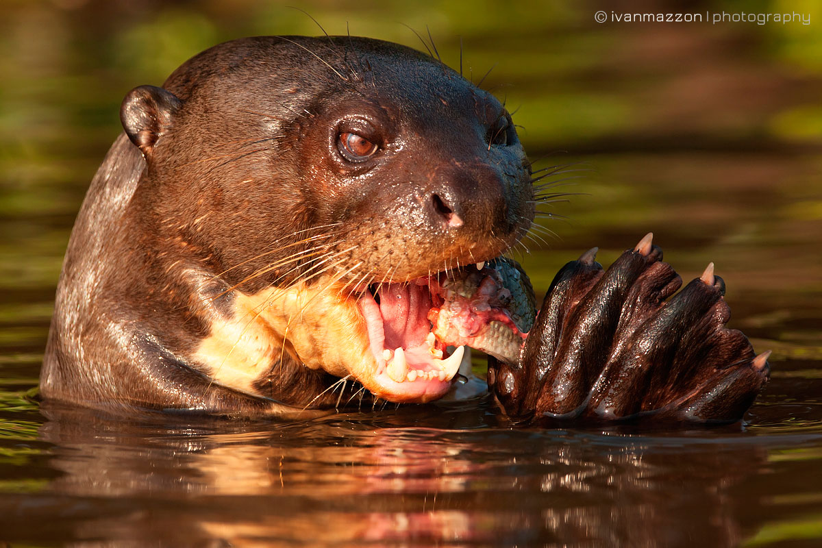 Giant Otter by Ivan Mazzon