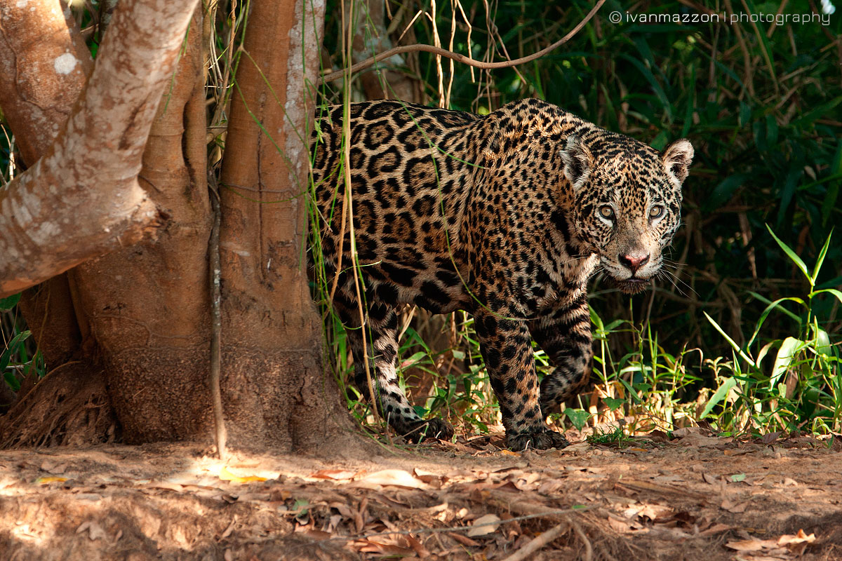Jaguar by Ivan Mazzon